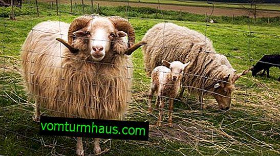 La differenza tra una pecora e una pecora, un agnello e un agnello, i registri delle pecore
