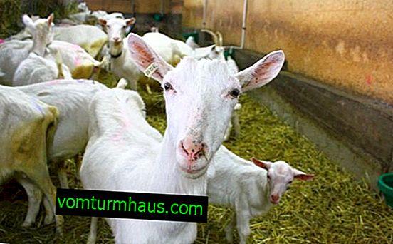 Cómo hacer un comedero de cabras
