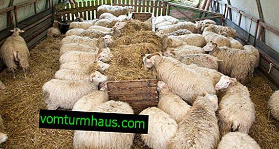 Evde yürümeden koyun yetiştirme