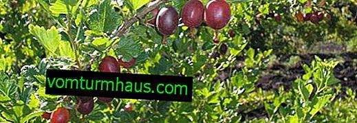 Varietà di uva spina Serenata - aspetto e caratteristiche principali