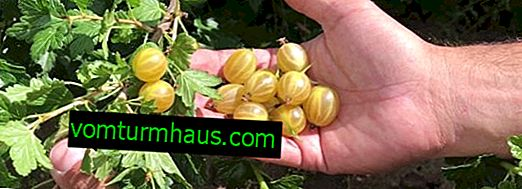 Gooseberry Spring: characteristics, features of cultivation and reproduction