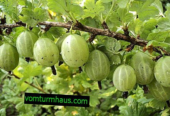 Kopriva zelena rani uralski smaragd: glavne karakteristike