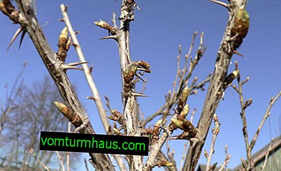 Pomladna nega kosmulje: obrezovanje, preliv in mulčenje, bolezni in škodljivci