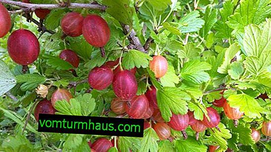 Gooseberry Mashenka: značilnosti, lastnosti gojenja in razmnoževanja