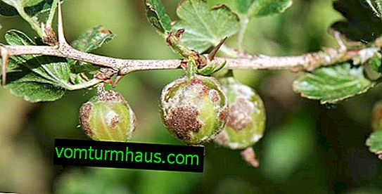 What can I do if gooseberries are browned