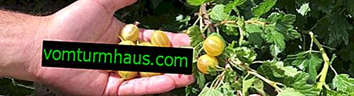 Gooseberry English yellow: characteristics, features of cultivation and reproduction