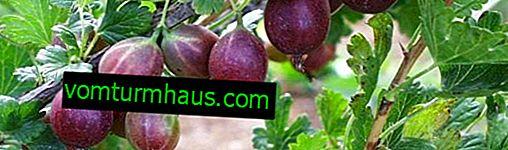 Piernikowy agrest: cechy, cechy uprawy i rozmnażania