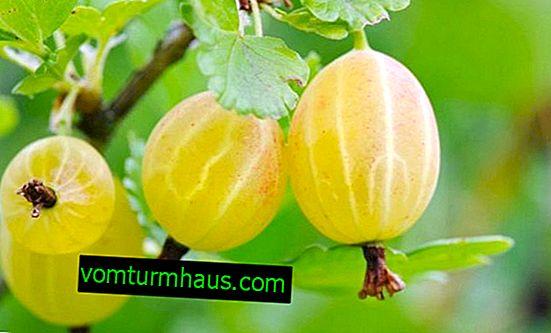 Stikkelsbærhvide nætter: egenskaber, funktioner ved dyrkning og reproduktion