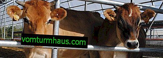 Virusna dijareja kod goveda: simptomi i liječenje