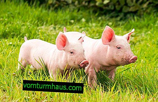 Que temperatura é considerada normal em porcos