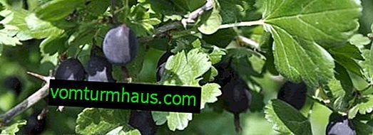 Gooseberry African: caractéristiques, caractéristiques de la culture et de la reproduction