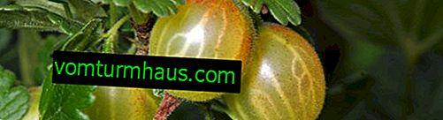 So düngen Sie Stachelbeeren: Herbst, Frühling.  Fütterungsmethoden