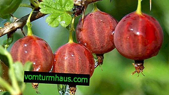 Gooseberry Captivator: vlastnosti, vlastnosti pěstování, reprodukce