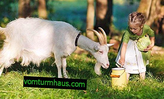 Los beneficios y daños de la leche de cabra para el cuerpo de hombres, mujeres y niños.