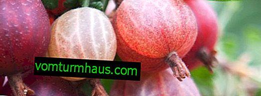 Нов сорт цариградско грозде Шершневски - външен вид и характеристики на сорта