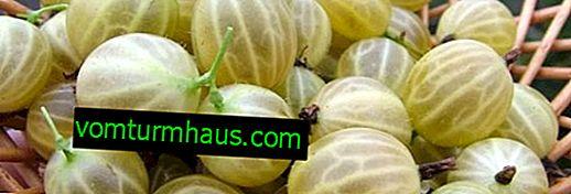 Nienośne odmiany agrestu Naughty - wygląd, cechy, opis, sadzenie