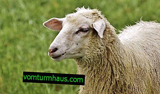 Sådan identificeres og behandles bradzot hos får: epizootologi, vaccination