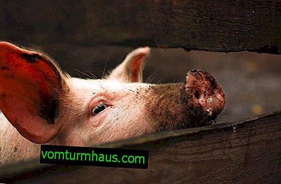 Wie viele Jahre leben Schweine zu Hause und in freier Wildbahn?
