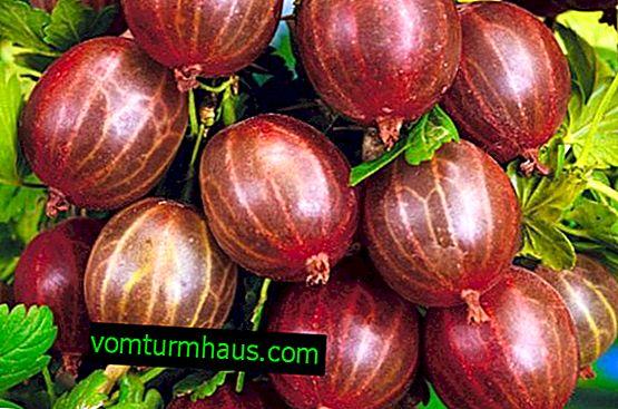 Stikkelsbær Warszawa: egenskaber, funktioner ved dyrkning og reproduktion
