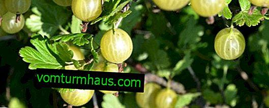 Grosella espinosa Pushkinsky: características de la variedad, características del cultivo