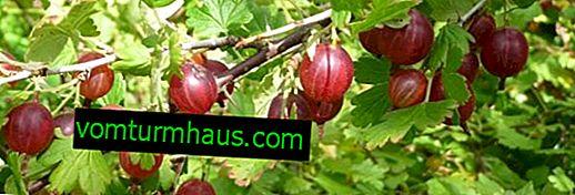 Lidt uartede stikkelsbær af sorten Frøplantning: udseende, beskrivelse