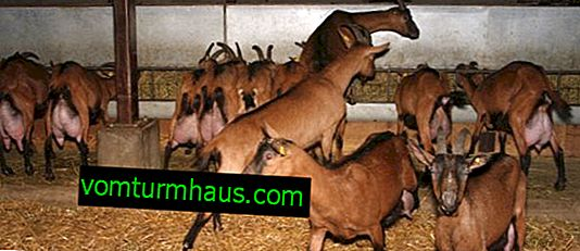 Alpine breed of goats