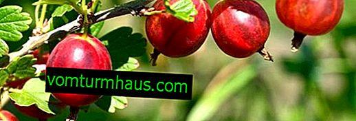 Stachelbeersorte Pink 2: Hauptmerkmale, Merkmale der Landtechnik