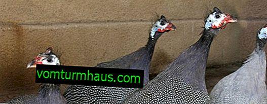 Er det muligt at holde kyllinger med marsvin