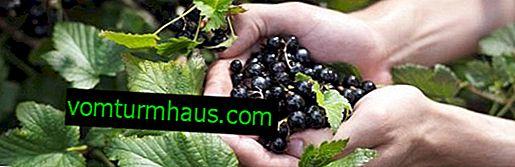 Soda för en riklig skörd av svarta vinbär
