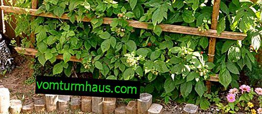 Какво да направите, за да предотвратите растежа на малини в градината