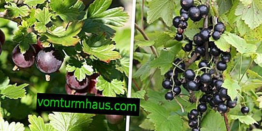 Gooseberries, currants: companions and good neighbors shrubs