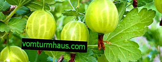 Gooseberry Grossular: characteristics, features of cultivation and reproduction