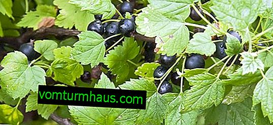 How to deal with spider mites on currants