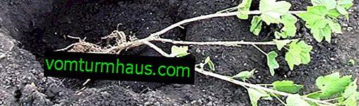 Groseilles à maquereau: plantation et entretien en plein champ au printemps, avantages