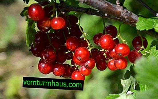 Czerwona porzeczka Niva - główne cechy