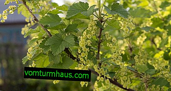 How and when does currant bloom