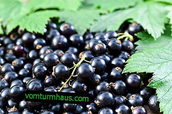 Vilka är vinbärens frukter