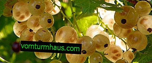 Ribes bianco Versailles - caratteristiche principali