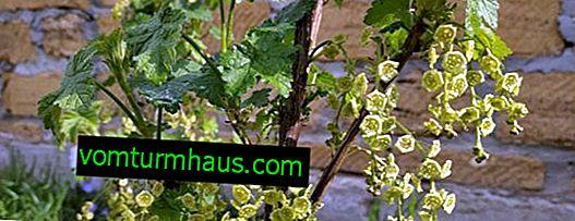 Är vinbär rädd för vårfrosten