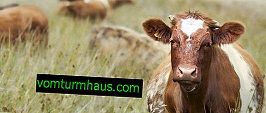 """Što znači """"krava krava""""?"""
