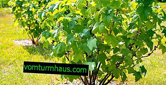 Как да се грижим за храстите от касис в началото на пролетта