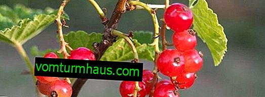 Grosella roja Konstantinovskaya: características de la variedad y características del cultivo.