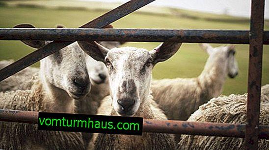 Sådan bygger man et rum til opbevaring af får: valg af et sted, beregning af området