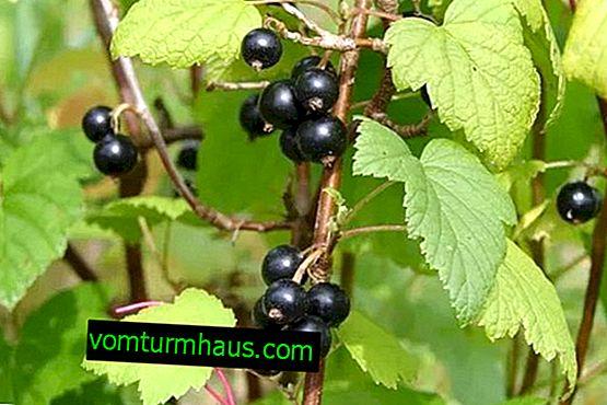 Cassis Gloriosa: principales caractéristiques de la variété