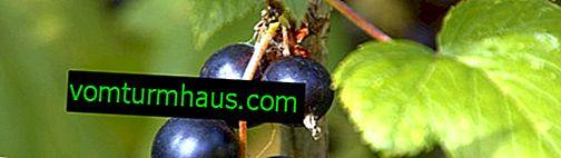 Перунова касис: сортови характеристики и характеристики на отглеждане