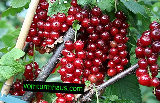 Red currant Ural beauty - the main characteristics