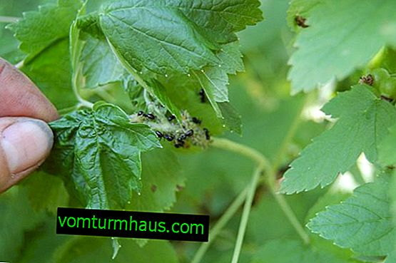 How to protect currants from ants and aphids