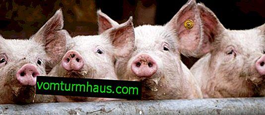 Sådan helbredes sarkoptose hos svin