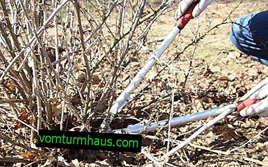 Vårbeskärning och krusbärföryngring för nybörjare
