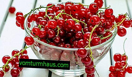 Røde vinbøn: sundhedsmæssige fordele og skader